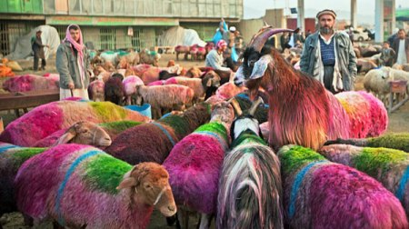 afghani colored goats